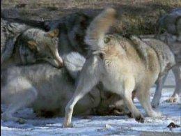 Волки - поле битвы...